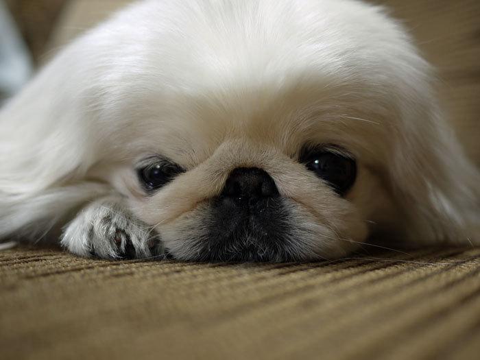 ペキニーズ Blog-白ペキニーズ シロ♂ & 白黒ペキニーズ クロ♀のフォトブログ-2012.3.6.シロ