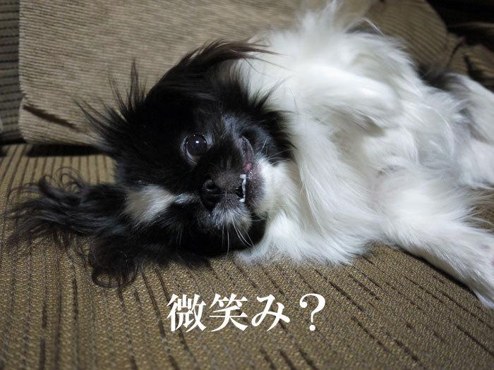 ペキニーズ Blog-白ペキニーズ シロ♂ & 白黒ペキニーズ クロ♀のフォトブログ-2012.3.9.クロ