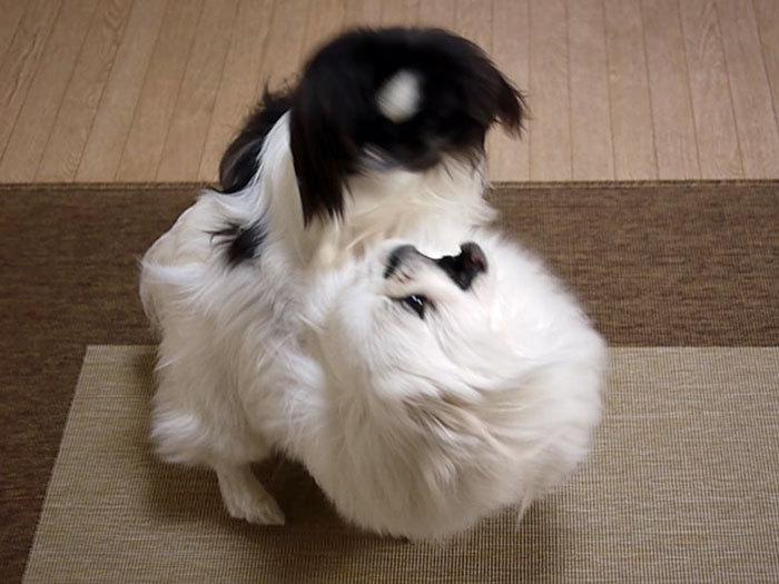 ペキニーズ Blog-白ペキニーズ シロ♂ & 白黒ペキニーズ クロ♀のフォトブログ-2012.3.14.シロクロ