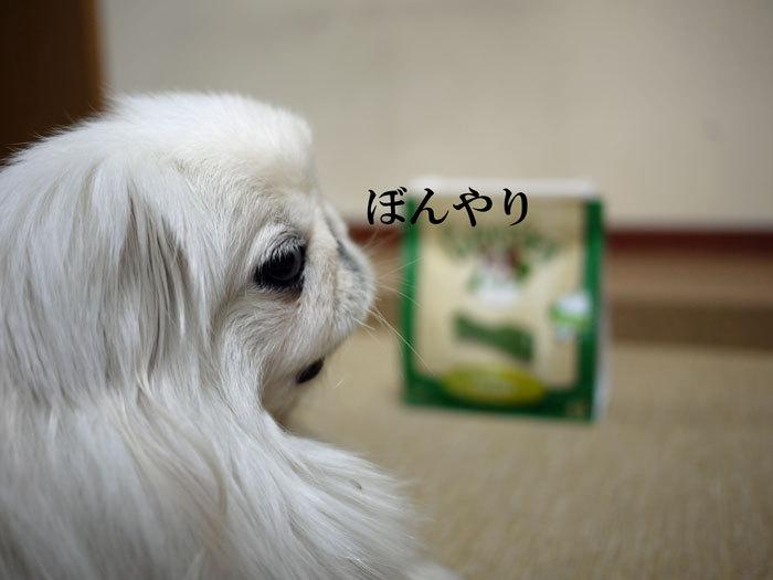 ペキニーズ Blog-白ペキニーズ シロ♂ & 白黒ペキニーズ クロ♀のフォトブログ-2012.3.21.シロ2