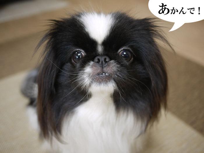 ペキニーズ Blog-白ペキニーズ シロ♂ & 白黒ペキニーズ クロ♀のフォトブログ-2012.3.21.クロ3