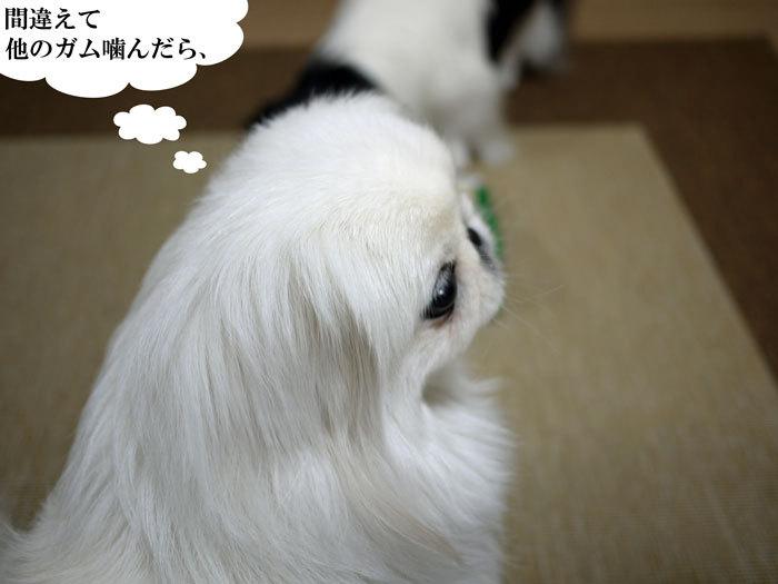 ペキニーズ Blog-白ペキニーズ シロ♂ & 白黒ペキニーズ クロ♀のフォトブログ-2012.3.21.シロ6
