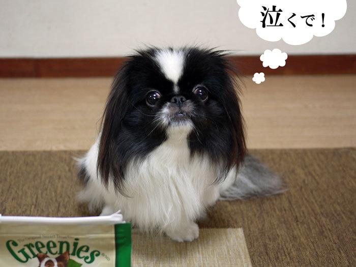 ペキニーズ Blog-白ペキニーズ シロ♂ & 白黒ペキニーズ クロ♀のフォトブログ-2012.3.21.クロ9