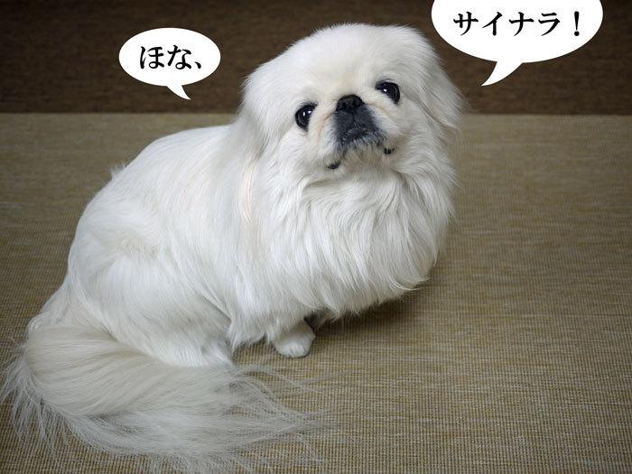 ペキニーズ Blog-白ペキニーズ シロ♂ & 白黒ペキニーズ クロ♀のフォトブログ-2012.3.21.シロ