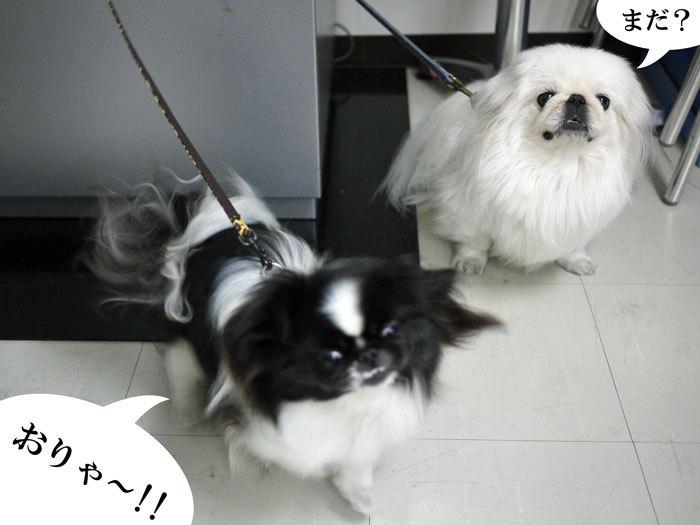 ペキニーズ Blog-白ペキニーズ シロ♂ & 白黒ペキニーズ クロ♀のフォトブログ-2012.3.18.シロクロ