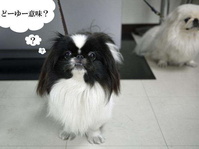ペキニーズ Blog-白ペキニーズ シロ♂ & 白黒ペキニーズ クロ♀のフォトブログ-2012.3.18.クロ