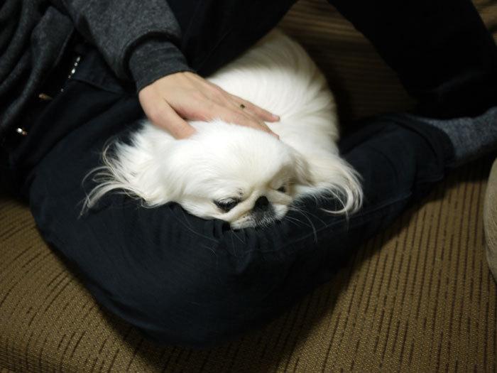 ペキニーズ Blog-白ペキニーズ シロ♂ & 白黒ペキニーズ クロ♀のフォトブログ-2012.4.6.シロ2