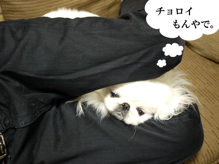 ペキニーズ Blog-白ペキニーズ シロ♂ & 白黒ペキニーズ クロ♀のフォトブログ-2012.4.6.シロ3