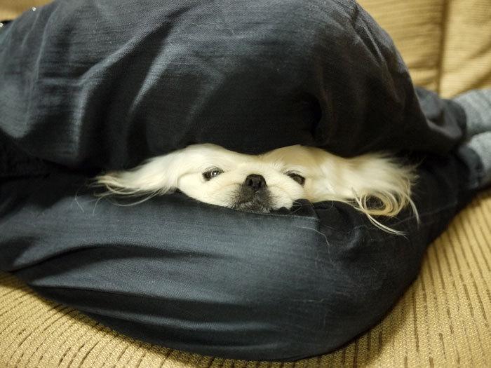 ペキニーズ Blog-白ペキニーズ シロ♂ & 白黒ペキニーズ クロ♀のフォトブログ-2012.4.6.シロ4
