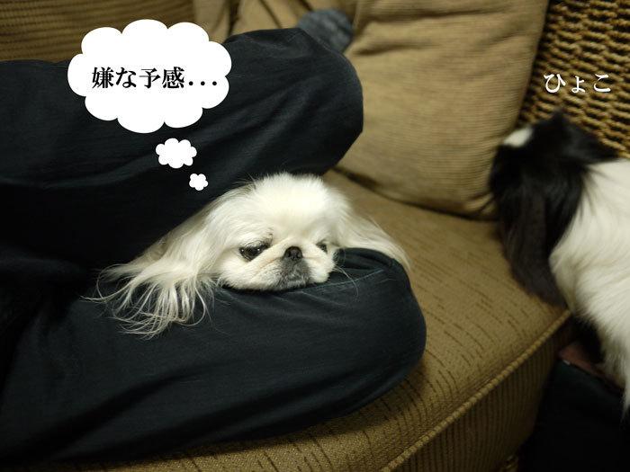 ペキニーズ Blog-白ペキニーズ シロ♂ & 白黒ペキニーズ クロ♀のフォトブログ-2012.4.6.シロクロ7