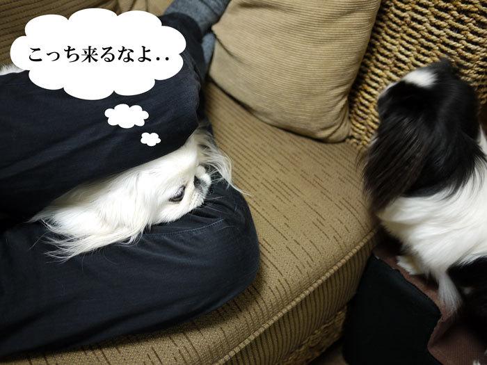 ペキニーズ Blog-白ペキニーズ シロ♂ & 白黒ペキニーズ クロ♀のフォトブログ-2012.4.6.シロクロ8