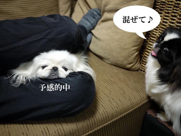 ペキニーズ Blog-白ペキニーズ シロ♂ & 白黒ペキニーズ クロ♀のフォトブログ-2012.4.6.シロクロ9