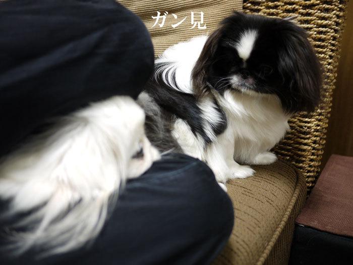 ペキニーズ Blog-白ペキニーズ シロ♂ & 白黒ペキニーズ クロ♀のフォトブログ-2012.4.6.シロクロ10