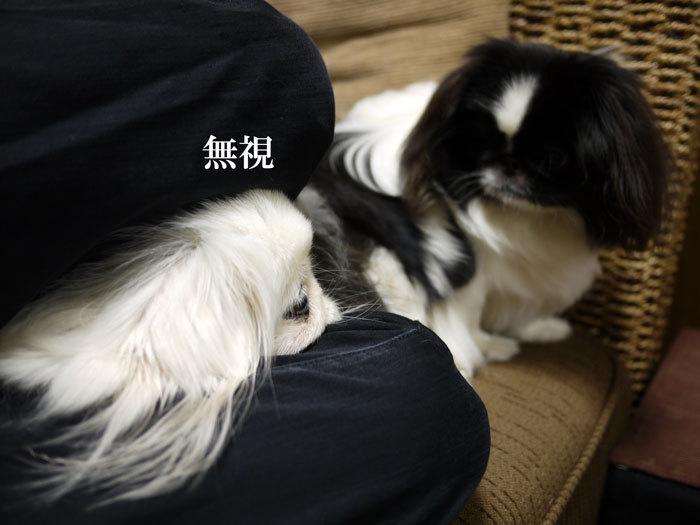 ペキニーズ Blog-白ペキニーズ シロ♂ & 白黒ペキニーズ クロ♀のフォトブログ-2012.4.6.シロクロ11