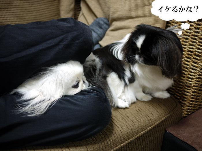 ペキニーズ Blog-白ペキニーズ シロ♂ & 白黒ペキニーズ クロ♀のフォトブログ-2012.4.6.シロクロ13