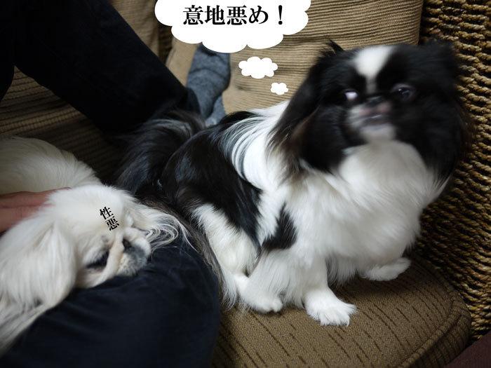 ペキニーズ Blog-白ペキニーズ シロ♂ & 白黒ペキニーズ クロ♀のフォトブログ-2012.4.6.シロクロ16