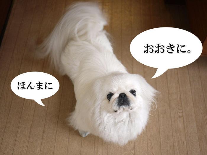 ペキニーズ Blog-白ペキニーズ シロ♂ & 白黒ペキニーズ クロ♀のフォトブログ-2012.4.2.シロ