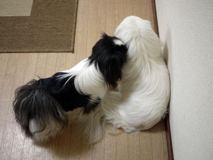 ペキニーズ Blog-白ペキニーズ シロ♂ & 白黒ペキニーズ クロ♀のフォトブログ-2012.4.2.シロクロ