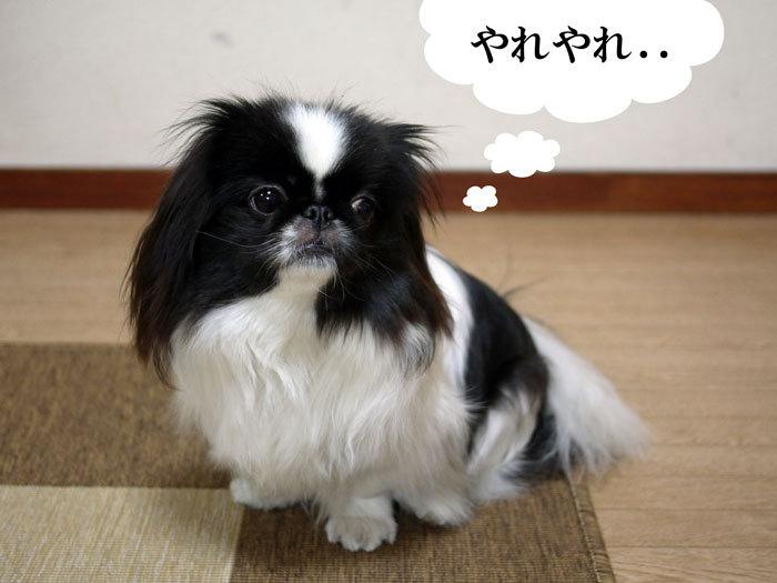 ペキニーズ Blog-白ペキニーズ シロ♂ & 白黒ペキニーズ クロ♀のフォトブログ-2012.4.2.クロ