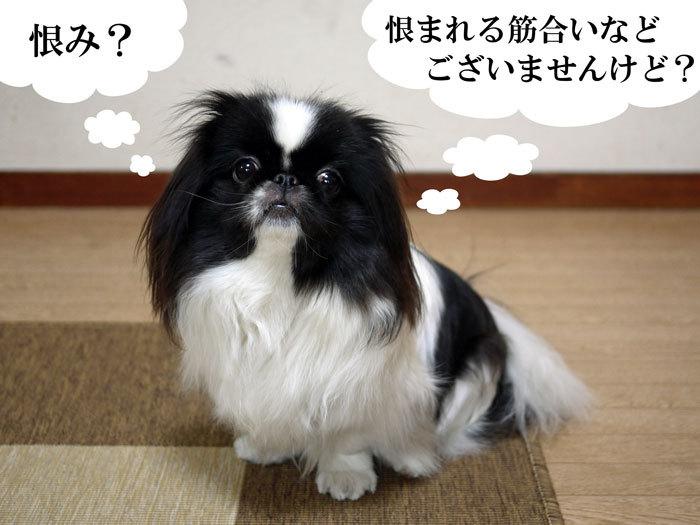 ペキニーズ Blog-白ペキニーズ シロ♂ & 白黒ペキニーズ クロ♀のフォトブログ-2012.4.4.クロ