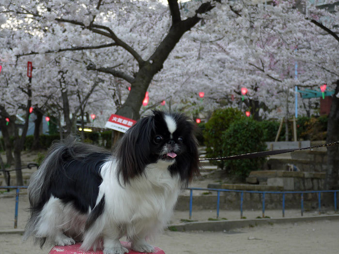 ペキニーズ Blog-白ペキニーズ シロ♂ & 白黒ペキニーズ クロ♀のフォトブログ-2012.4.12.クロ6