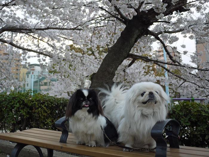 ペキニーズ Blog-白ペキニーズ シロ♂ & 白黒ペキニーズ クロ♀のフォトブログ-2012.4.12.シロクロ8