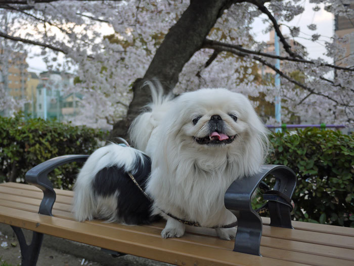 ペキニーズ Blog-白ペキニーズ シロ♂ & 白黒ペキニーズ クロ♀のフォトブログ-2012.4.12.シロ9