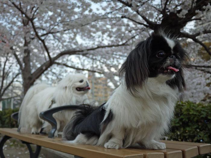 ペキニーズ Blog-白ペキニーズ シロ♂ & 白黒ペキニーズ クロ♀のフォトブログ-2012.4.12.シロクロ10