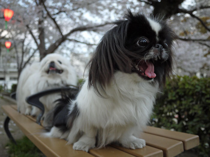 ペキニーズ Blog-白ペキニーズ シロ♂ & 白黒ペキニーズ クロ♀のフォトブログ-2012.4.12.クロ