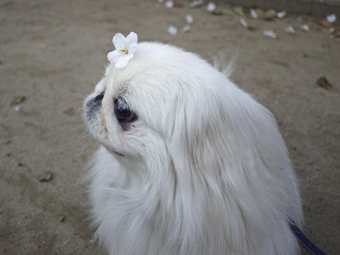ペキニーズ Blog-白ペキニーズ シロ♂ & 白黒ペキニーズ クロ♀のフォトブログ-2012.4.12.シロ11