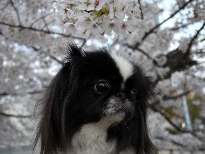 ペキニーズ Blog-白ペキニーズ シロ♂ & 白黒ペキニーズ クロ♀のフォトブログ-2012.4.12.クロ12
