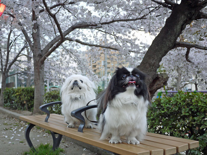 ペキニーズ Blog-白ペキニーズ シロ♂ & 白黒ペキニーズ クロ♀のフォトブログ-2012.4.12.シロクロ13