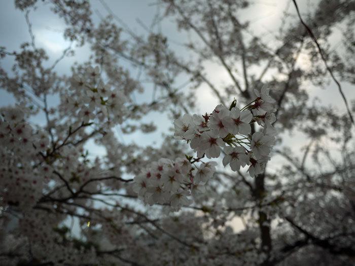 ペキニーズ Blog-白ペキニーズ シロ♂ & 白黒ペキニーズ クロ♀のフォトブログ-2012.4.12.ソメイヨシノ