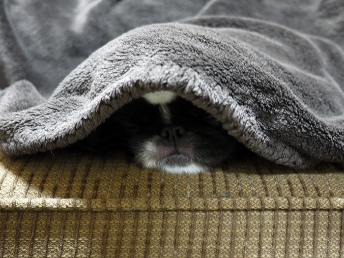 ペキニーズ Blog-白ペキニーズ シロ♂ & 白黒ペキニーズ クロ♀のフォトブログ-2012.4.10.クロ2