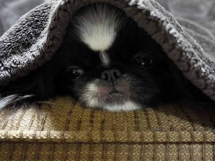 ペキニーズ Blog-白ペキニーズ シロ♂ & 白黒ペキニーズ クロ♀のフォトブログ-2012.4.10.クロ5