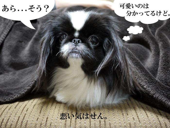 ペキニーズ Blog-白ペキニーズ シロ♂ & 白黒ペキニーズ クロ♀のフォトブログ-2012.4.10.クロ7