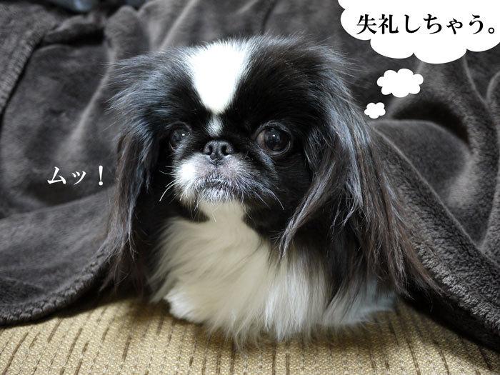 ペキニーズ Blog-白ペキニーズ シロ♂ & 白黒ペキニーズ クロ♀のフォトブログ-2012.4.10.クロ8