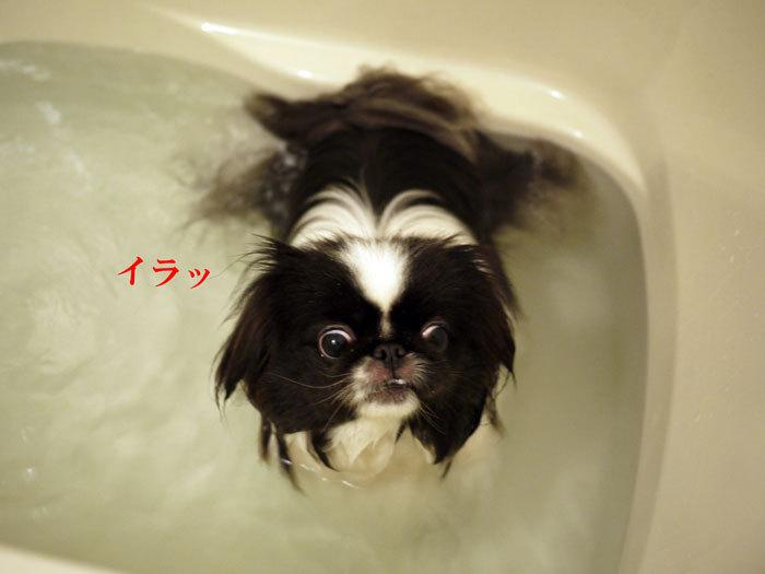 ペキニーズ Blog-白ペキニーズ シロ♂ & 白黒ペキニーズ クロ♀のフォトブログ-2012.4.16.クロ2