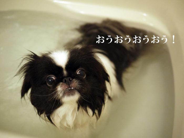 ペキニーズ Blog-白ペキニーズ シロ♂ & 白黒ペキニーズ クロ♀のフォトブログ-2012.4.16.クロ3