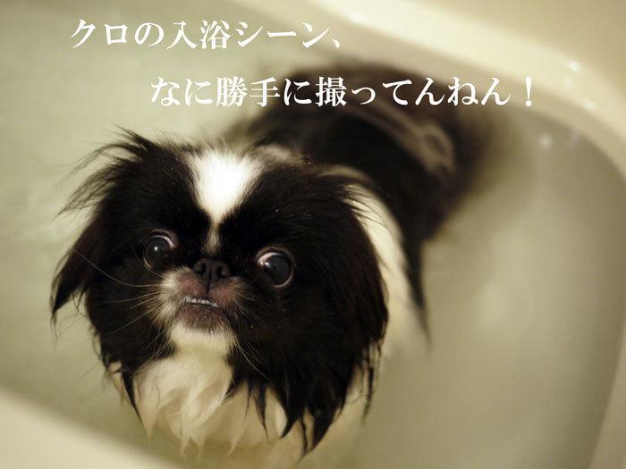 ペキニーズ Blog-白ペキニーズ シロ♂ & 白黒ペキニーズ クロ♀のフォトブログ-2012.4.16.クロ4