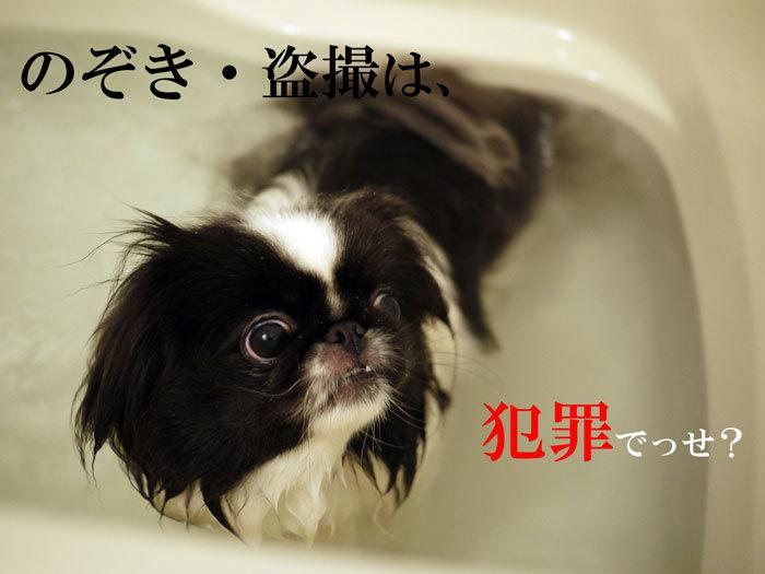 ペキニーズ Blog-白ペキニーズ シロ♂ & 白黒ペキニーズ クロ♀のフォトブログ-2012.4.16.クロ5