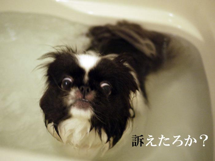 ペキニーズ Blog-白ペキニーズ シロ♂ & 白黒ペキニーズ クロ♀のフォトブログ-2012.4.16.クロ6