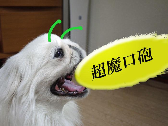 ペキニーズ Blog-白ペキニーズ シロ♂ & 白黒ペキニーズ クロ♀のフォトブログ-2012.4.18.シロ