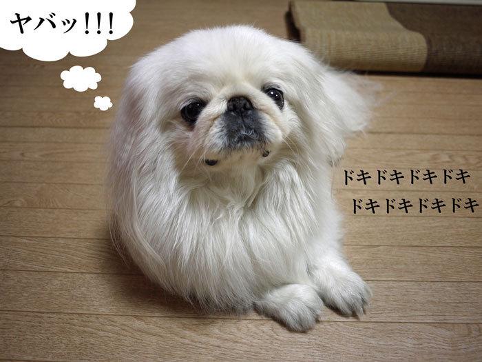 ペキニーズ Blog-白ペキニーズ シロ♂ & 白黒ペキニーズ クロ♀のフォトブログ-2012.5.8.シロ