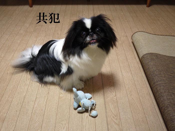 ペキニーズ Blog-白ペキニーズ シロ♂ & 白黒ペキニーズ クロ♀のフォトブログ-2012.5.8.クロ