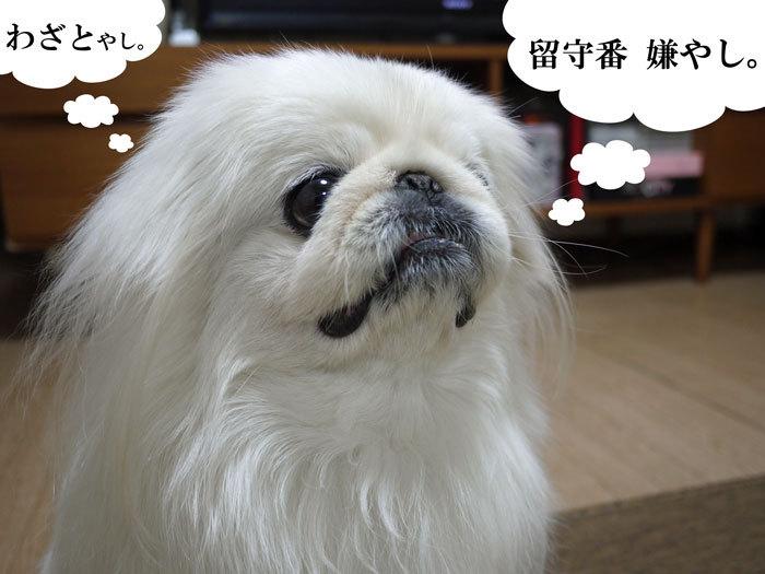 ペキニーズ Blog-白ペキニーズ シロ♂ & 白黒ペキニーズ クロ♀のフォトブログ-2012.5.13.シロ