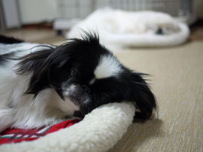 ペキニーズ Blog-白ペキニーズ シロ♂ & 白黒ペキニーズ クロ♀のフォトブログ-2012.5.21.シロクロ