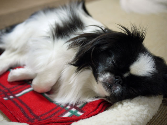 ペキニーズ Blog-白ペキニーズ シロ♂ & 白黒ペキニーズ クロ♀のフォトブログ-2012.5.21.クロ