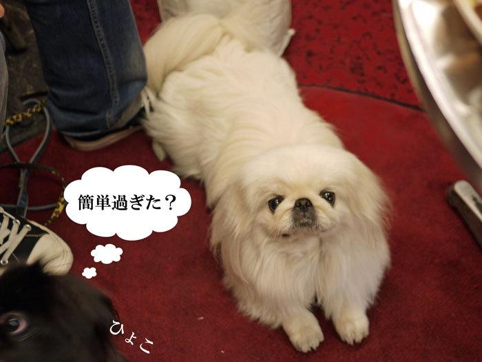 ペキニーズ Blog-白ペキニーズ シロ♂ & 白黒ペキニーズ クロ♀のフォトブログ-2012.5.29.シロクロ