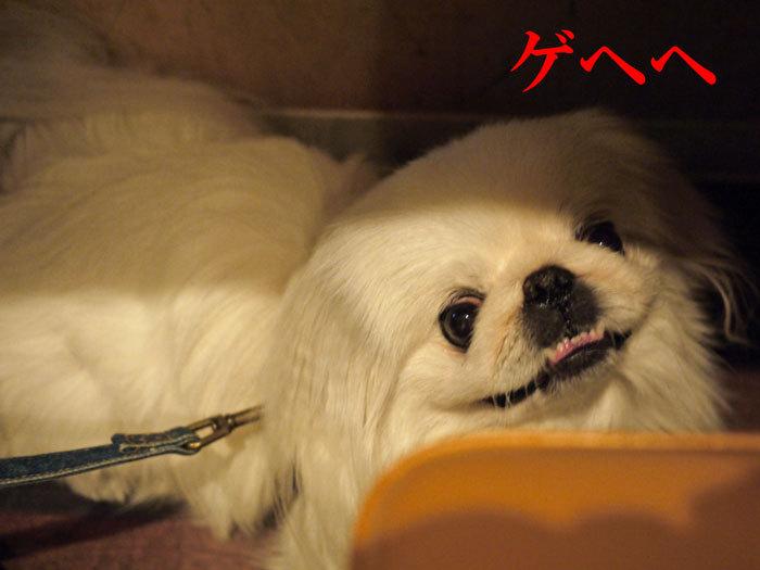 ペキニーズ Blog-白ペキニーズ シロ♂ & 白黒ペキニーズ クロ♀のフォトブログ-2012.5.29.シロ